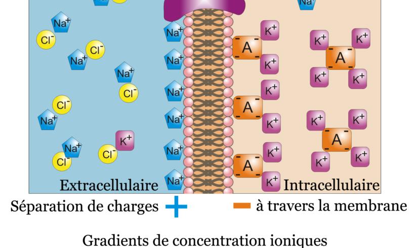 Potentiel membranaire