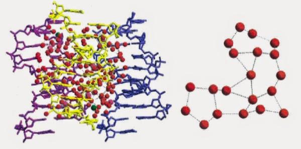 Image montrant la structure adoptée par l'eau au voisinage d'une double hélice d'ADN.